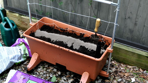 Pickle Project: Planting in Earth Box on day 7